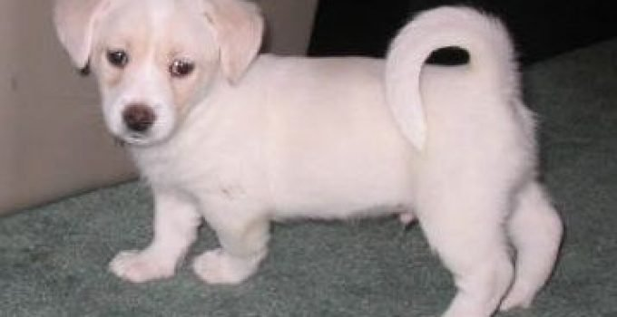 Mini Foxingese Dog Breed Information All You Need To Know