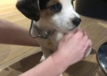 Mini Foxker Dog Breed Information – All You Need To Know