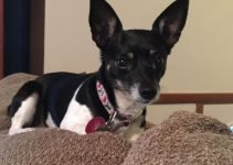 Mini Foxy Rat Terrier Dog Breed Information – All You Need To Know