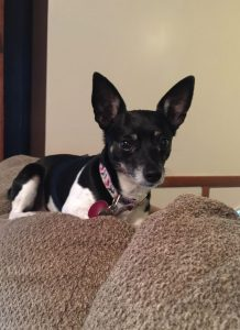 Mini Foxy Rat Terrier Dog Breed Information All You Need To Know