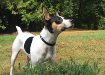 Mini Foxy Russell Dog Breed Information – All You Need To Know