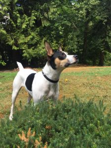 Mini Foxy Russell Dog Breed Information All You Need To Know