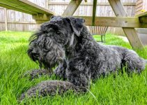 Mini Kerry Blue Schnauzer Dog Breed Information – All You Need To Know