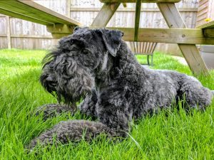 Mini Kerry Blue Schnauzer Dog Breed Information All You Need To Know