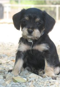 Mini King Schnauzer Dog Breed Information All You Need To Know