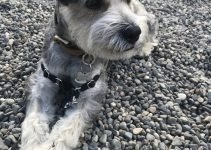 Mini Schnauzer Chin Dog Breed Information – All You Need To Know