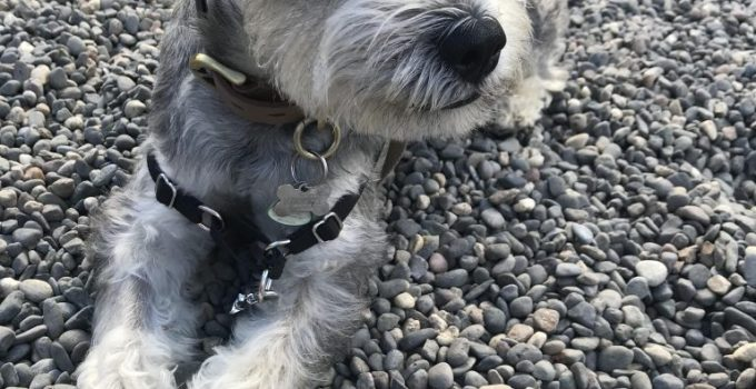 Mini Schnauzer Chin Dog Breed Information All You Need To Know