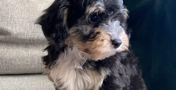 Mini Yorkshire Aussie Dog Breed Information All You Need To Know