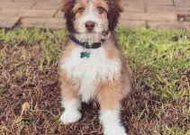 Miniature Aussiedoodle Dog Breed Information – All You Need To Know