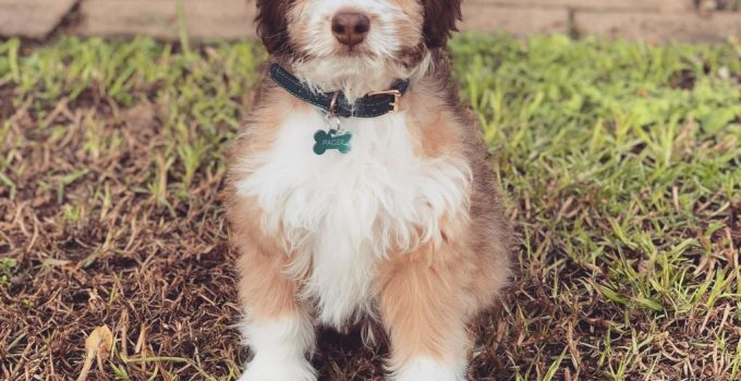 Miniature Aussiedoodle Dog Breed Information All You Need To Know