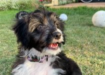 Miniature Border Schnollie Dog Breed Information – All You Need To Know