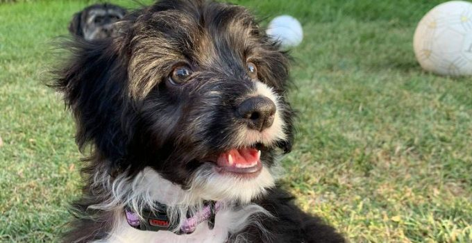 Miniature Border Schnollie Dog Breed Information All You Need To Know