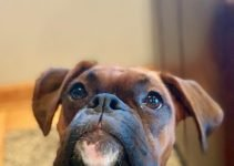 Miniature Boxer Dog Breed Information – All You Need To Know