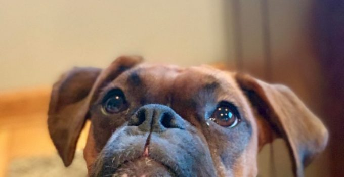 Miniature Boxer Dog Breed Information All You Need To Know