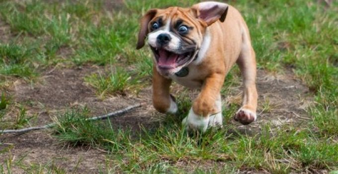 Miniature Bulldog Dog Breed Information All You Need To Know