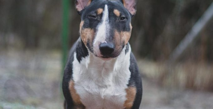 Miniature English Bulldach Dog Breed Information All You Need To Know