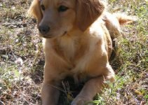 Miniature Golden Retriever Dog Breed Information – All You Need To Know