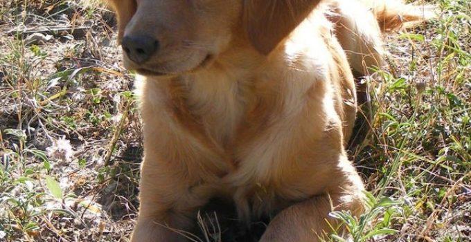 Miniature Golden Retriever Dog Breed Information All You Need To Know