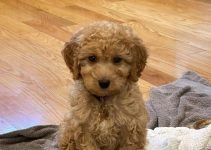 Miniature Goldendoodle Dog Breed Information – All You Need To Know