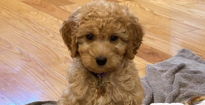 Miniature Goldendoodle Dog Breed Information All You Need To Know