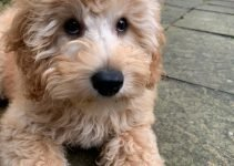 Miniature Labradoodle Dog Breed Information – All You Need To Know