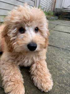 Miniature Labradoodle Dog Breed Information All You Need To Know