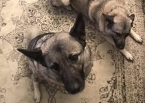 Miniature Pinschelkhound Dog Breed Information – All You Need To Know