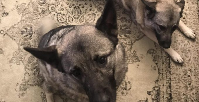 Miniature Pinschelkhound Dog Breed Information All You Need To Know