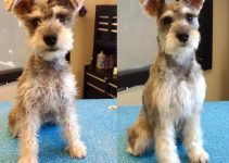 Miniature Schnaupin Dog Breed Information – All You Need To Know