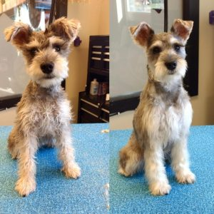 Miniature Schnaupin Dog Breed Information All You Need To Know