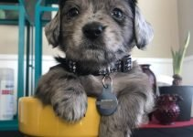 Miniature Schnoxie Dog Breed Information – All You Need To Know