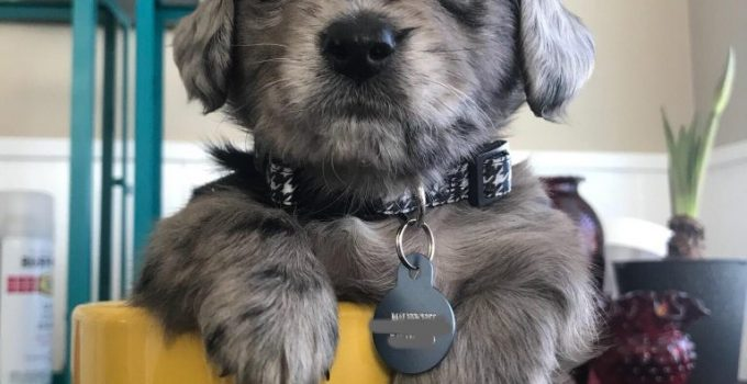 Miniature Schnoxie Dog Breed Information All You Need To Know