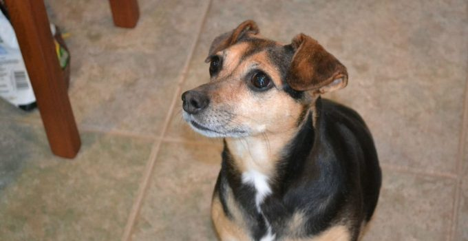 Minnie Jack Dog Breed Information All You Need To Know