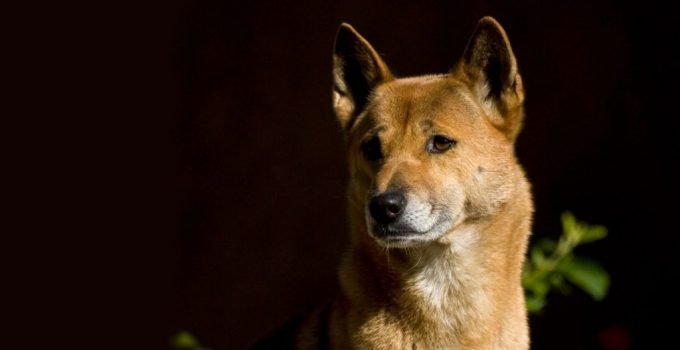 New Guinea Singing Dog Breed Information All You Need To Know