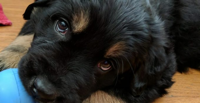 New Labralound Dog Breed Information All You Need To Know