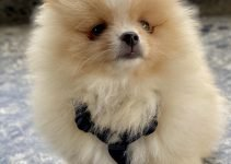 Pomeranian Dog Breed Information – All You Need To Know