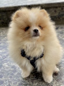 Pomeranian Dog Breed Information All You Need To Know
