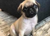 Pug Dog Breed Information – All You Need To Know