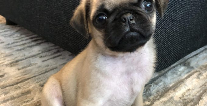 Pug Dog Breed Information All You Need To Know