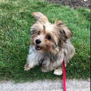 Mi Orkie Dog Breed Information All You Need To Know
