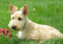 Mini Scottish Fox Terrier Dog Breed Information – All You Need To Know