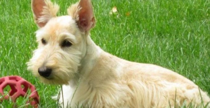 Mini Scottish Fox Terrier Dog Breed Information All You Need To Know