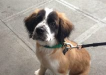 Mini St. Bernard Dog Breed Information – All You Need To Know