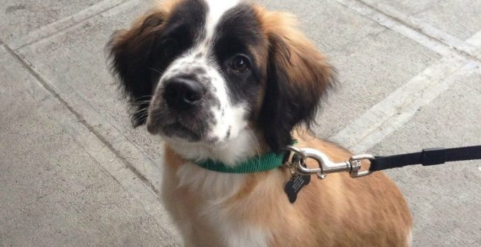 Mini St. Bernard Dog Breed Information All You Need To Know