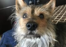 Mini Torkie Dog Breed Information – All You Need To Know