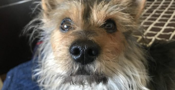 Mini Torkie Dog Breed Information All You Need To Know