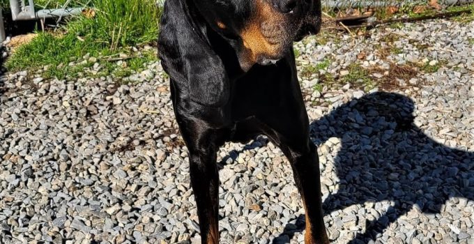 Montenegrin Mountain Hound Dog Breed Information All You Need To Know