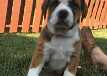 Mountain Bulldog Dog Breed Information – All You Need To Know