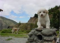 Mucuchies Dog Breed Information – All You Need To Know