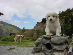 Mucuchies Dog Breed Information All You Need To Know